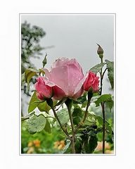 a rose is a rose 06 (for a loved one)