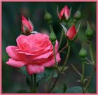 A Rose of A Rose