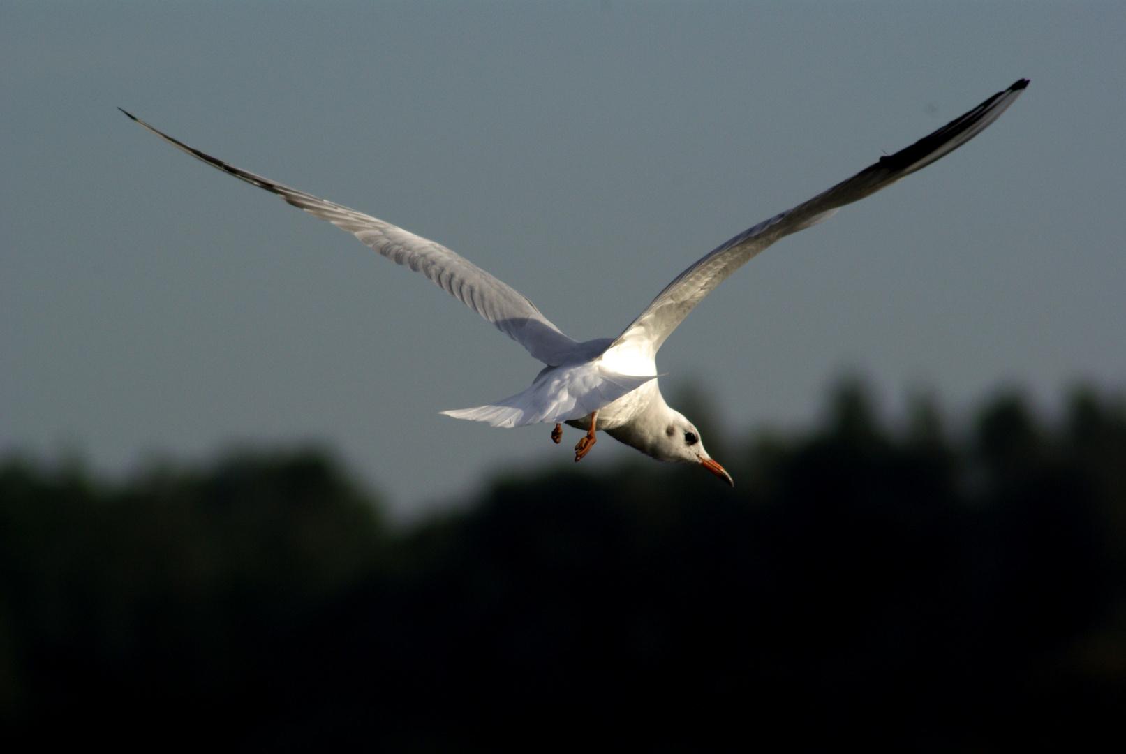 A sea Gull flying away....