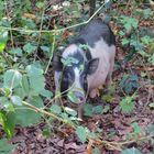 A shy pig