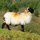 A Slightly Golden Fleece!