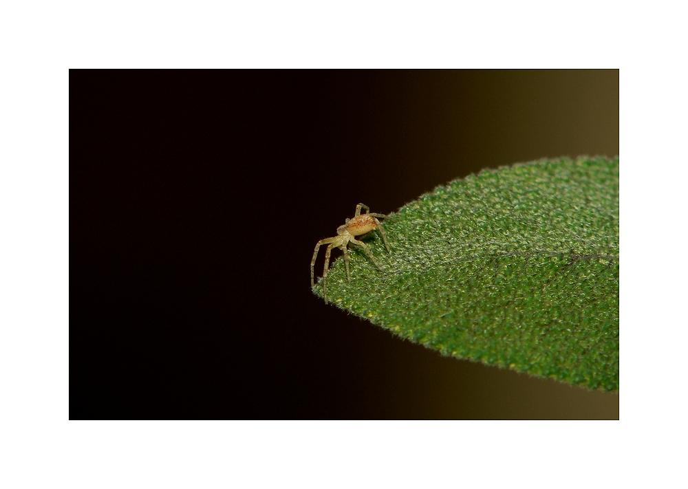 A small spider on a sage leaf