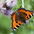 A Small Tortoiseshell Butterfly