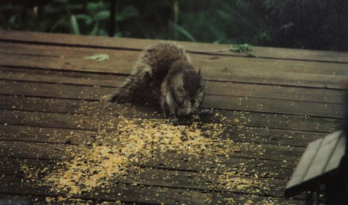 A squirrel in St. Claire Shore