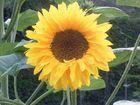a Sunny Flower