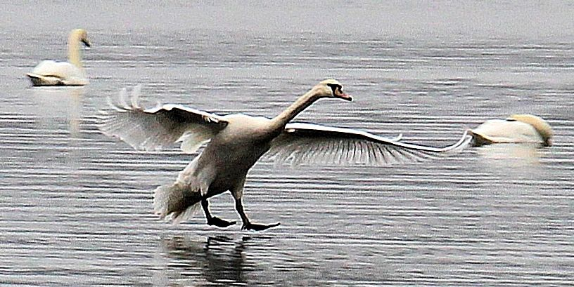 A swan in for landing