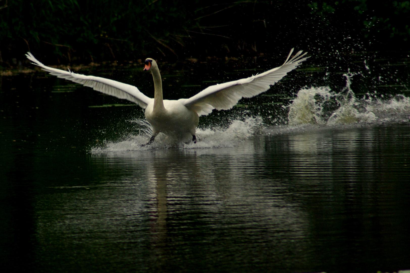 A swan Landing!