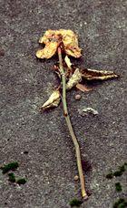a temps passé, fleur  séchée