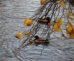 A travers les feuilles