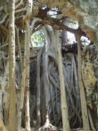 A tree reconquers the ruins