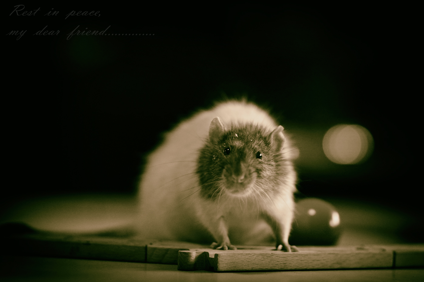 A tribute to my friend Gonzales and all the rats in the world....