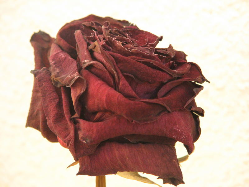 A very old rose