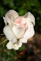 A white rose.