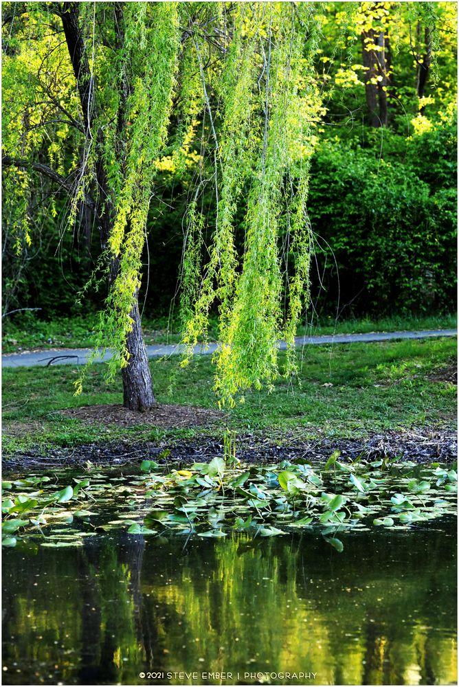 A Willow Weeps...