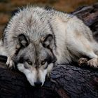 a wolf on a wet log