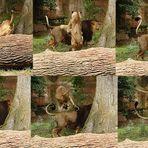 Aaallleee Hoppp..... oder der Löwensprung