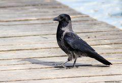 Aaskrähe (Corvus corone)
