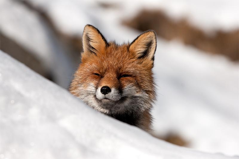 Abbronzatura invernale foto immagini animali - Animali in inverno clipart ...