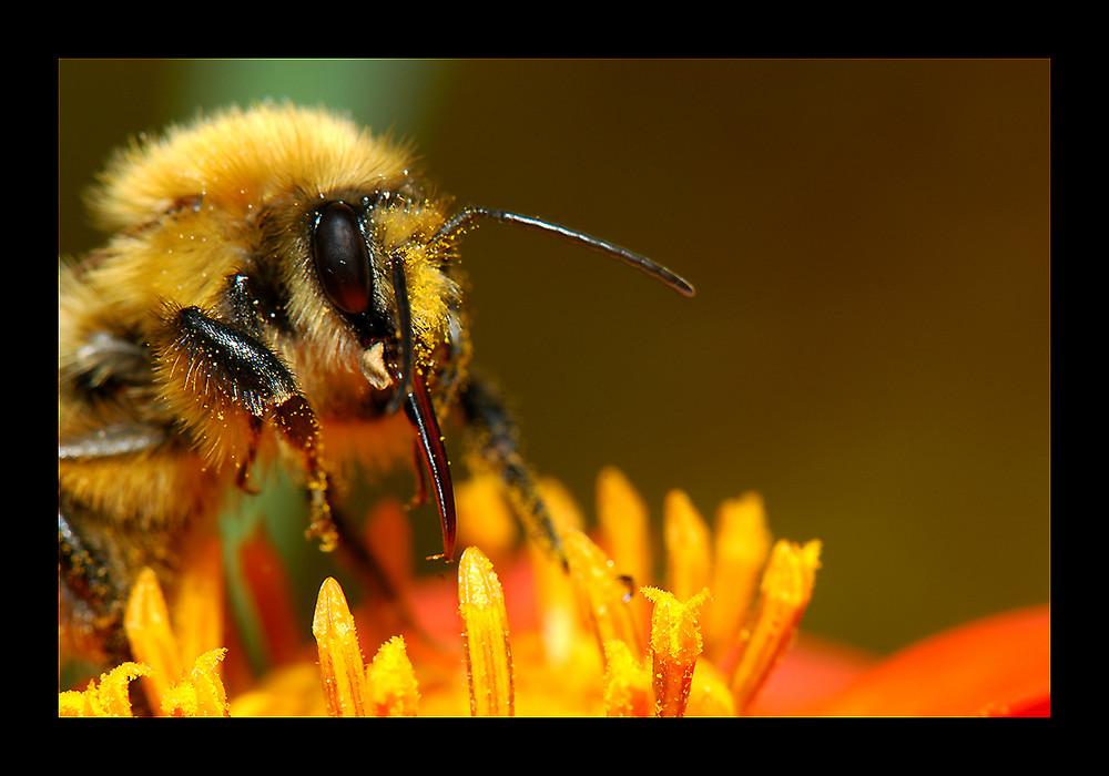 abeille.