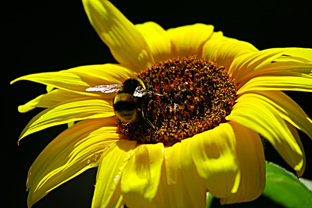 abeille butinant