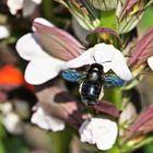 Abeille charpentière sur fleur d'ACanthe.....
