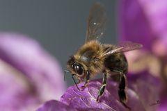 Abeille - Colletes cunicularius