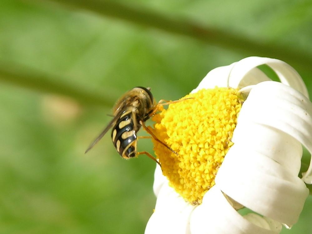 abeille du maroc