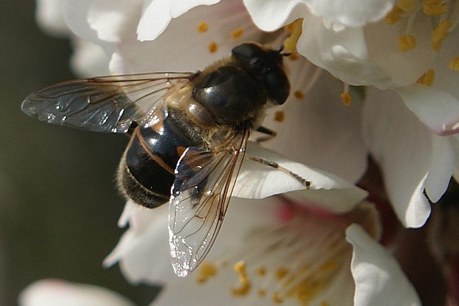 abeille en plein travail
