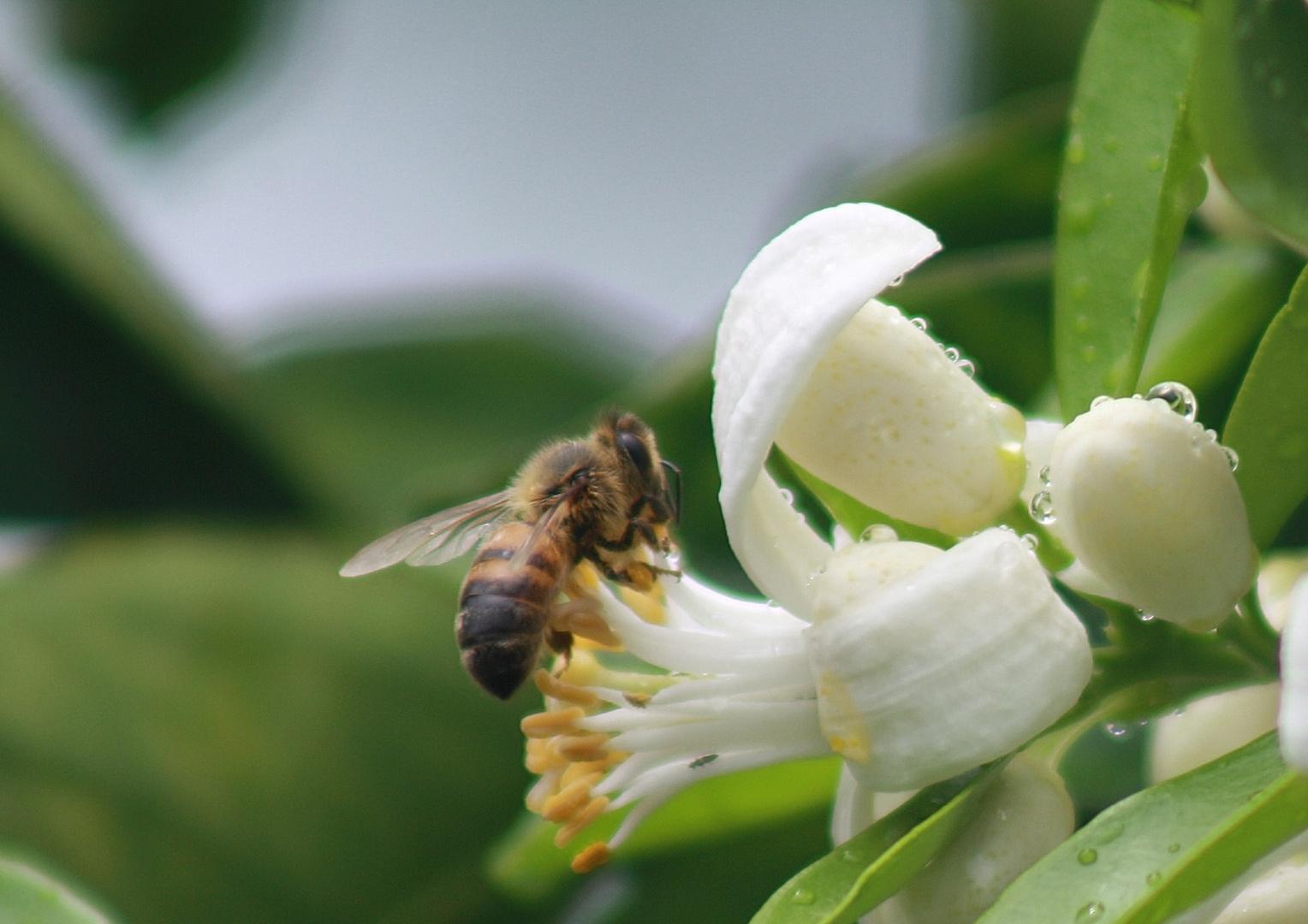 abeille et fleur d'oranger