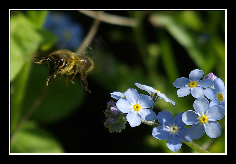 abeille grognon