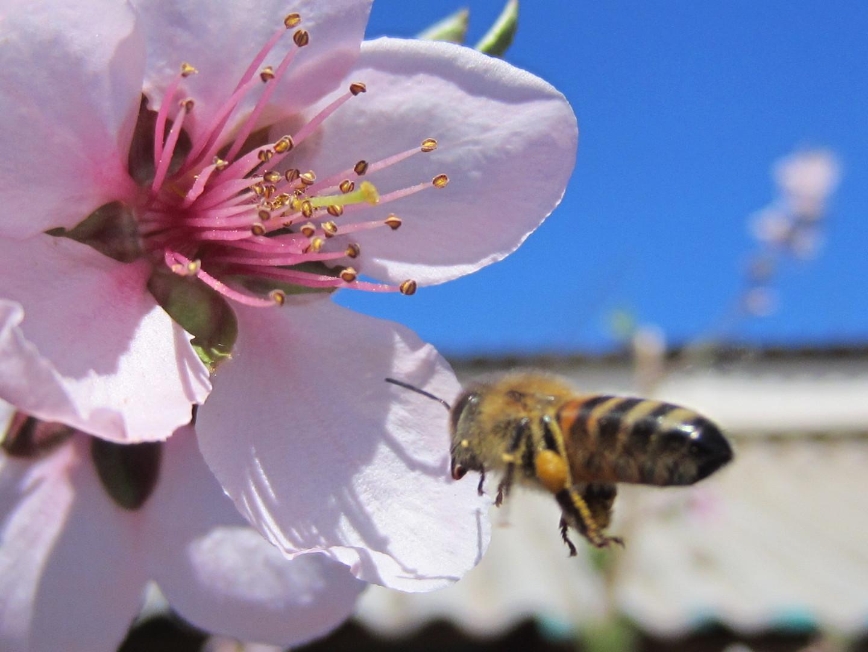 abeja llegando a la flor...