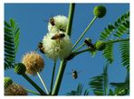 Abejas cargando polen