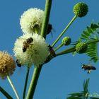 Abejas con su carga de polen
