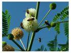 Abejas recolectando polen I
