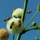 Abejas recolectando polen II
