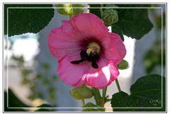 Abejorro libando nectar y polen en Malvarosa (Las Alpujarras)
