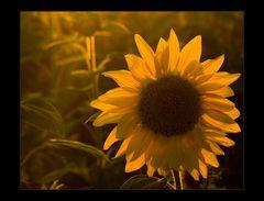 Abend-Sonnen-Blume...