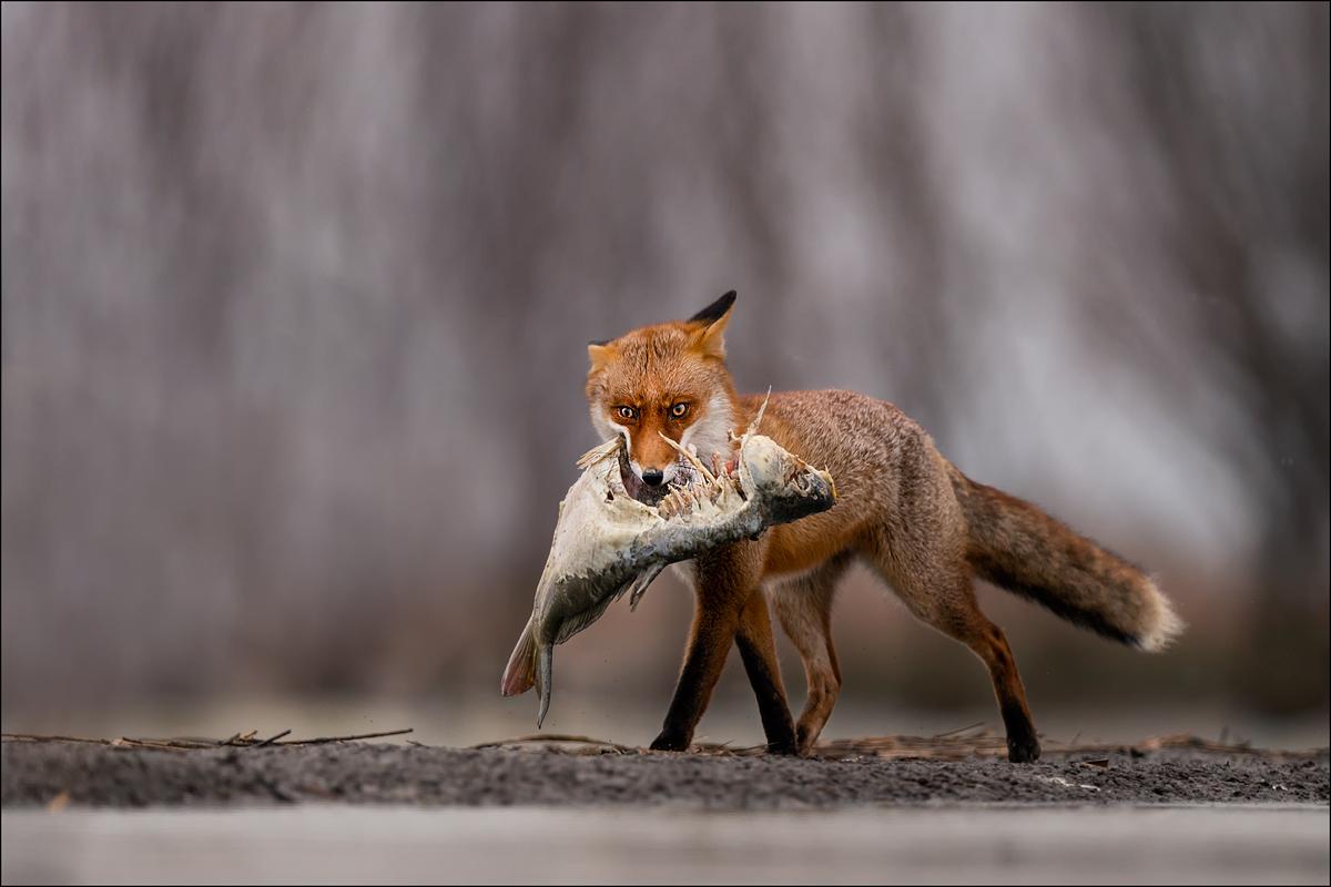 Abendessen für den Fuchs