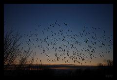 abendliches Treffen der Krähen
