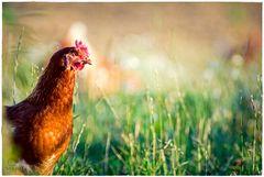 abends auf der Hühnerweide