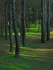 Abends im Pinienwald  /  Di sera in pineta  (1)