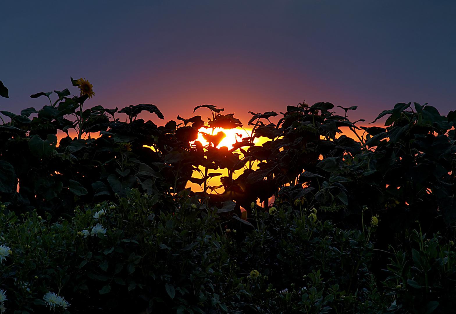 Abendstimmung im Blumenfeld