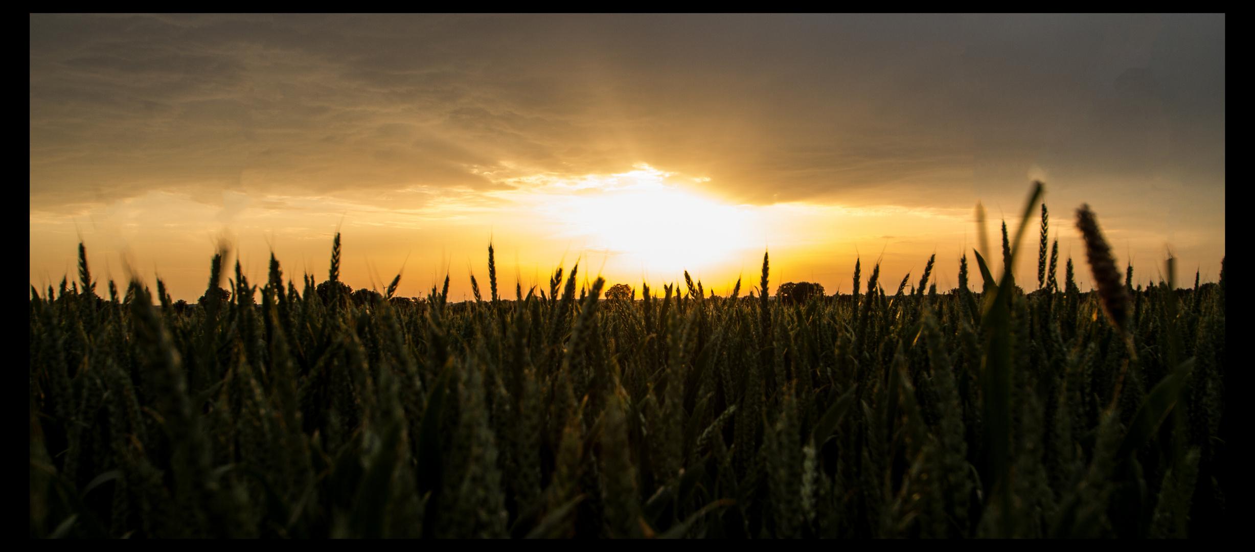 Abendstimmung im Getreidefeld