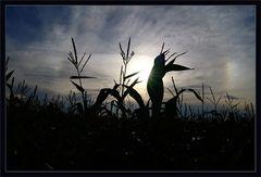 Abendstimmung im Maisfeld