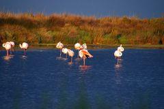 Abendstimmung mit den Flamingos der Camargue