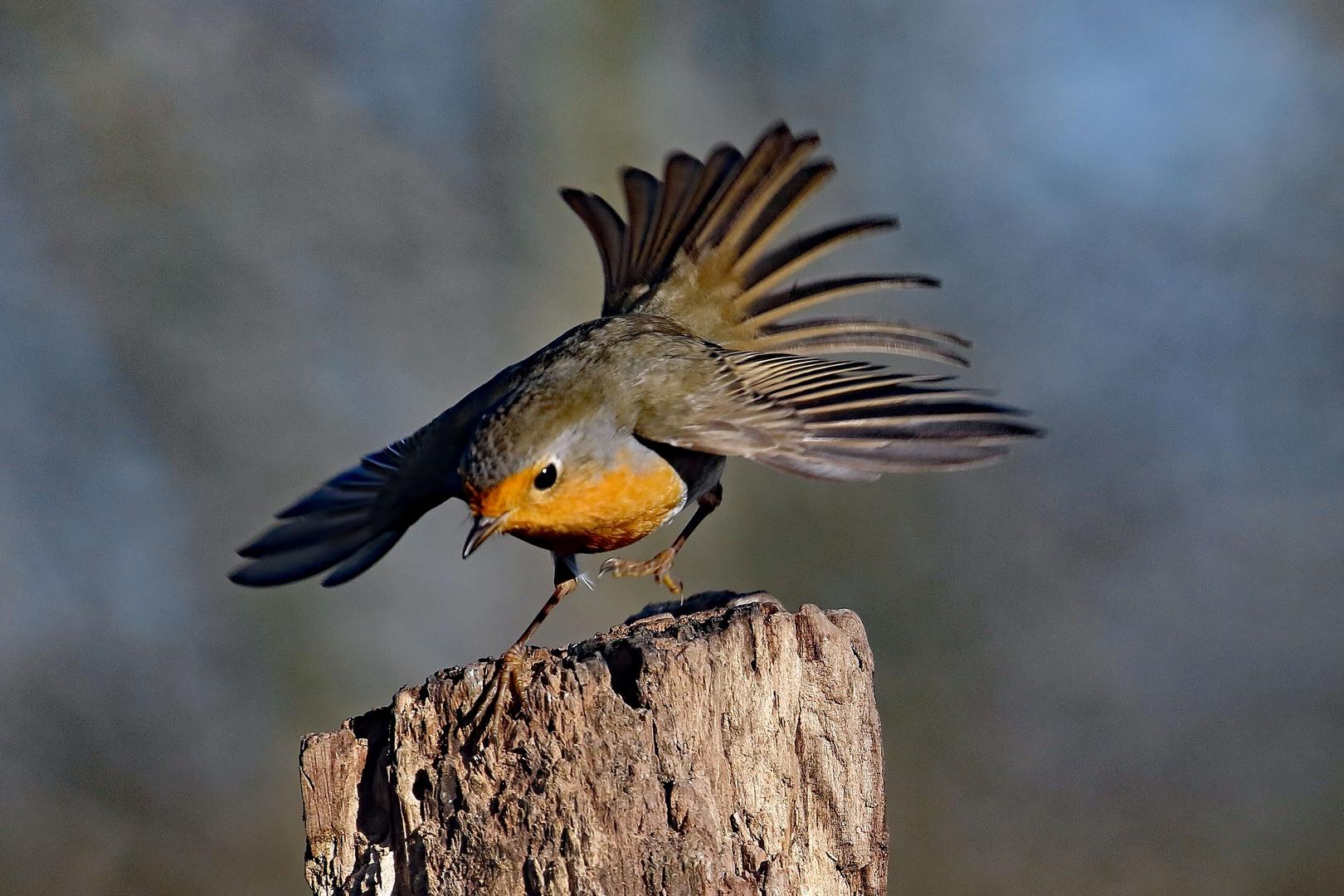 Abflug - Rotkehlchen