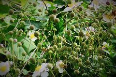 abgeblühte Anemone hupehensis var. japonica