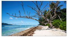 Abgestorbener Baum am Strand von La Digue