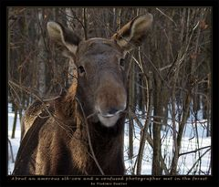 About an amorous elk-cow and a confused photographer met in the forest