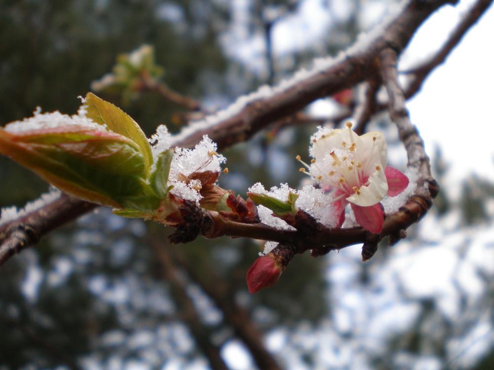 Abricotier sous la neige, un 24 mars dans le Sud de la france!